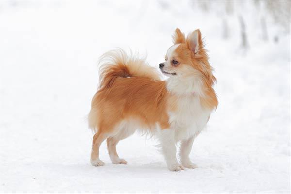 Щенки чихуахуа: http://paradigma-dog.ru/chihya/puppy_11_03_11.htm